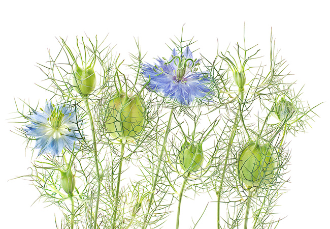 Photograph-by-Robert-Llewellyn-Seeing-Flowers-p070.071_032_Nigella damascena-featured-on-thehorticult