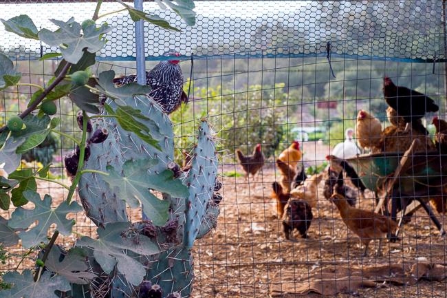 David got the chickens when they were a day old. The breeds on the farm include, but aren't limited to, Barred Rock, Buff Orpington, Rhode Island Red, Silver Laced Wyandotte, White Sultan and Polish.