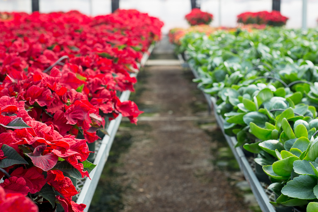 Red-Carousel-poinsettias-Weidners-ryanbenoitphoto-thehorticult-RMB_2668