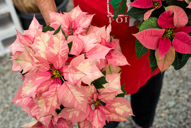 Sparkling-Punch-poinsettias-Weidners-ryanbenoitphoto-thehorticult-RMB_2522