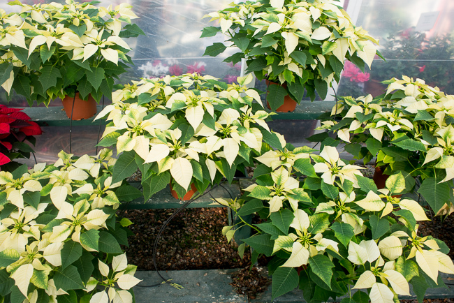 poinsettias-Weidners-ryanbenoitphoto-thehorticult-RMB_2576