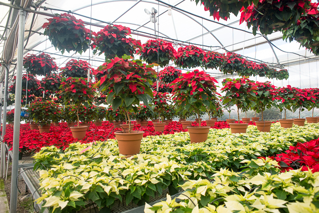 poinsettias-Weidners-ryanbenoitphoto-thehorticult-RMB_2602