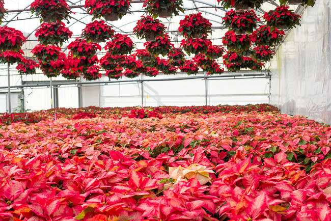 poinsettias-Weidners-ryanbenoitphoto-thehorticult-RMB_2643