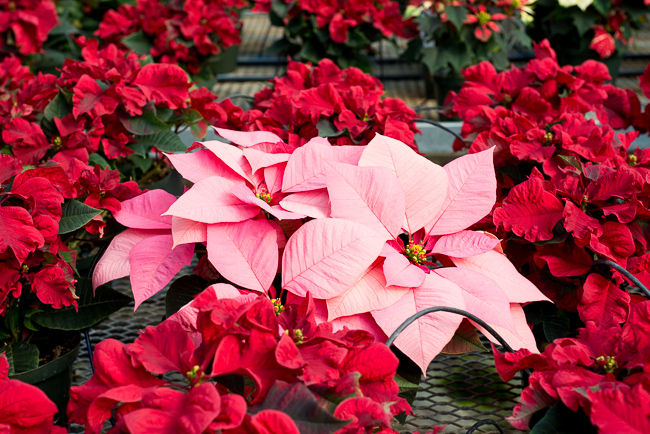 poinsettias-Weidners-ryanbenoitphoto-thehorticult-RMB_2670
