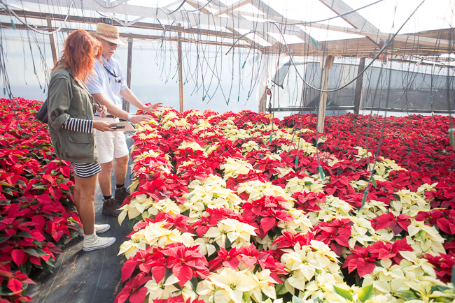 poinsettias-Weidners-ryanbenoitphoto-thehorticult-RMB_2728