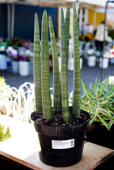 The Community Garden Sansevieria Cylindrica African