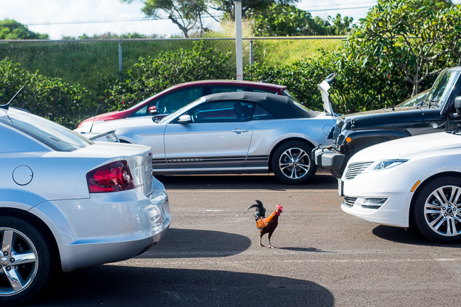 Wild chicken in Kauai