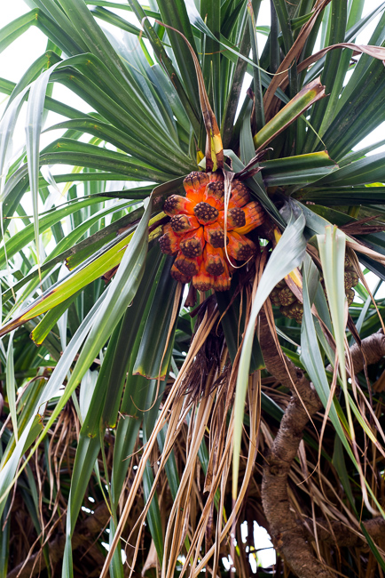 The fruit of the hala tree vaguely resembles a pineapple.