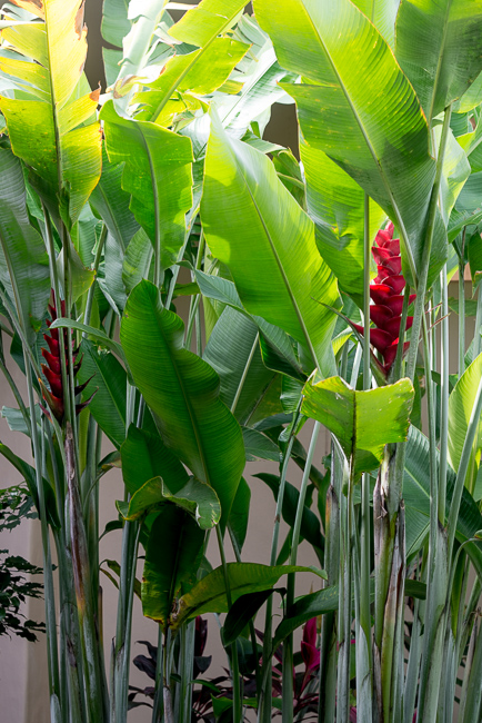 Heliconia, photographed here, is often confused with red ginger.