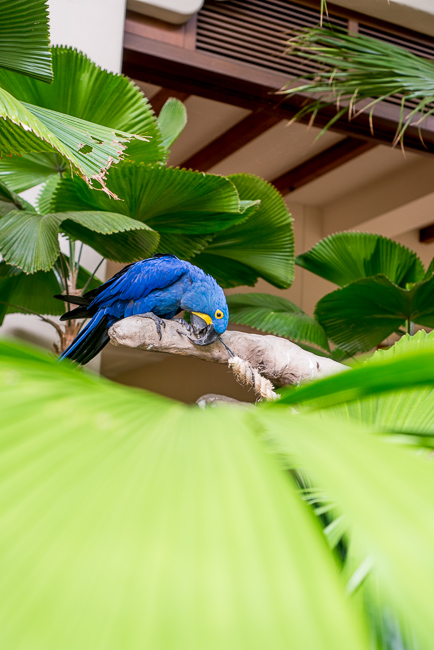 Ni'ele, a Hyacinth Macaw, his home a midst licuala palms.