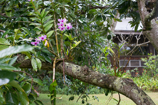 A familiar sight. Orchids grow on trees.