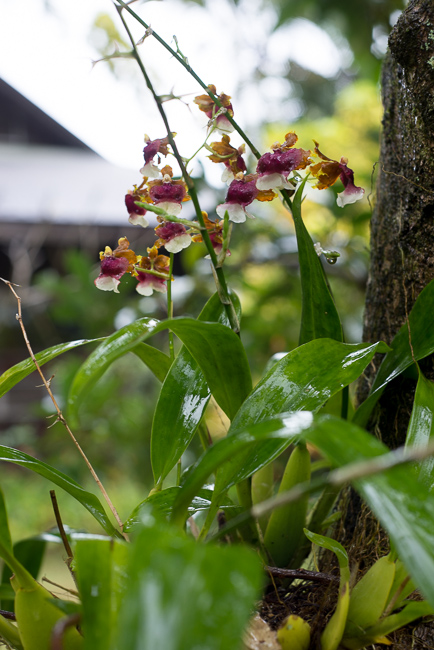 Orchids grow on trees thoughout North Country Farms.