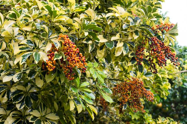 Schefflera arboricola 'Variegata,' also known as a Hawaiian schefflera.