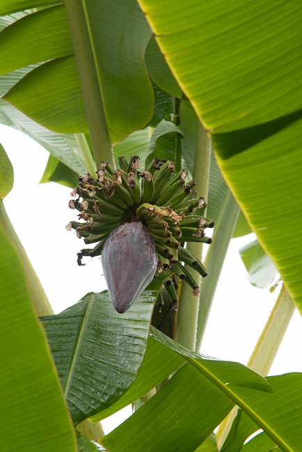 Apple banana tree bloom.
