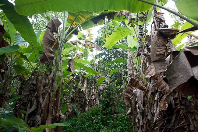 Banana tree forest.