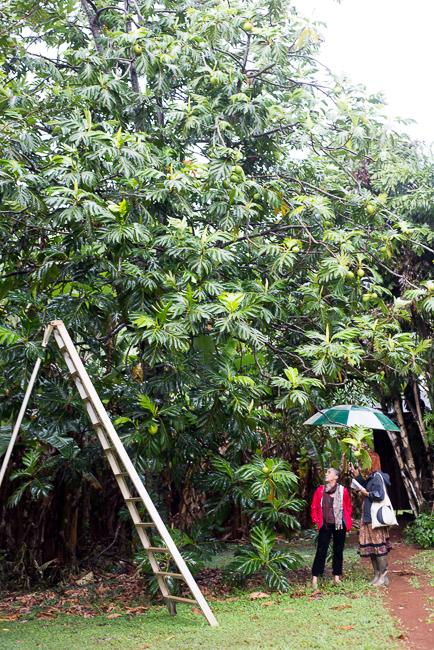 Artocarpus altilis or breadfruit tree.