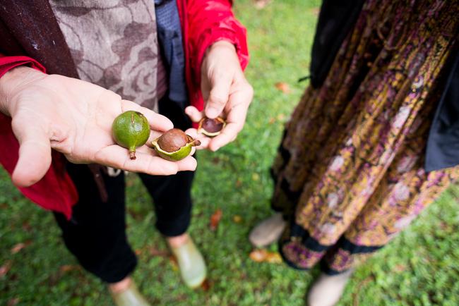 Macadamia integrifolia (macadamia nut).
