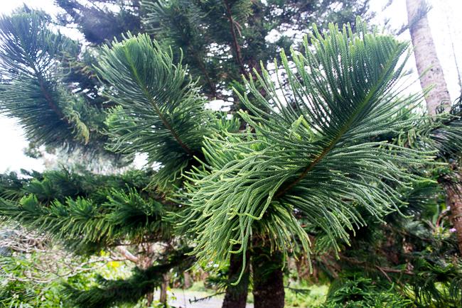 Norfolk pine on Kauai