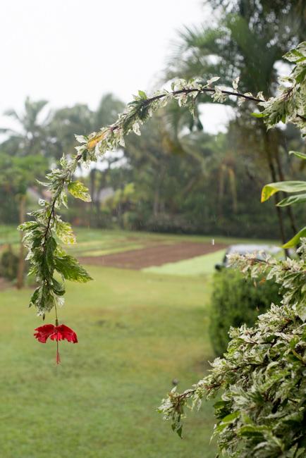 Variegated hibiscus.