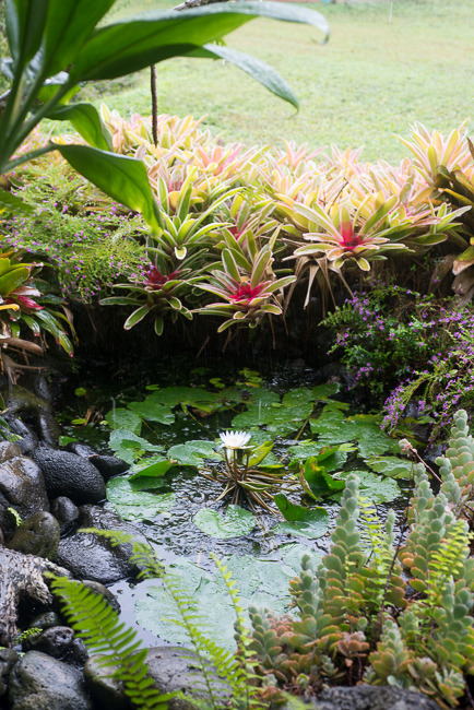 Water feature including tank bromeliads and water lily.