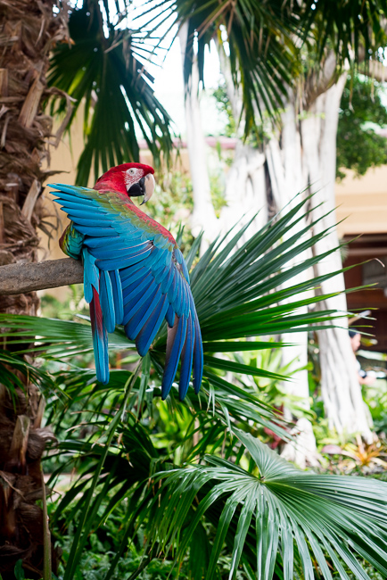 Rico, a green-wing macaw blends in with the surrounding palms.
