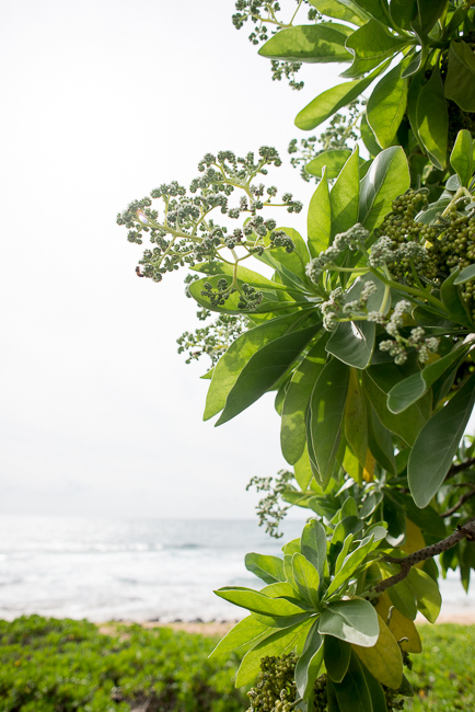 heliotrope-tree-Grand-Hyatt-Poipu-Kauai-Travel-2013-ryanbenoitphoto-thehorticult-RMB_3657