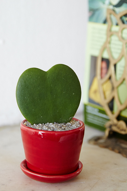 Heart-shaped Hoya, The Sill