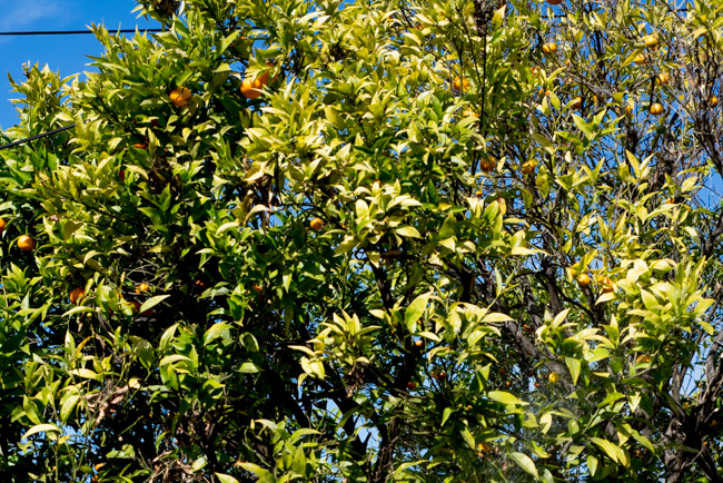 citrus-tree-rescue-ryanbenoitphoto-thehorticult-RMB_6786