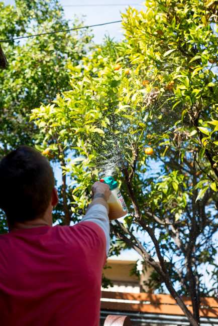 citrus-tree-rescue-ryanbenoitphoto-thehorticult-RMB_6805