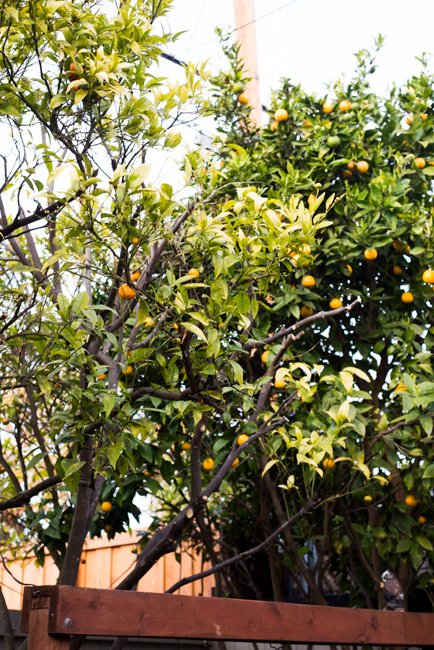 citrus-tree-rescue-ryanbenoitphoto-thehorticult-RMB_7547