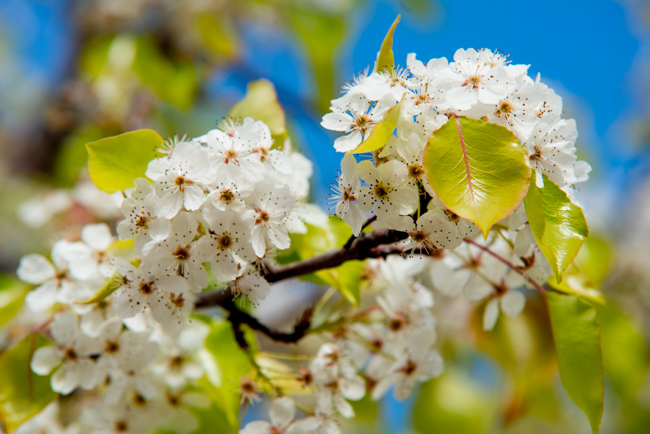 Bloom alert the wild white confetti of the evergreen pear tree white blooms pear trees ryanbenoitphoto thehorticult rmb7349 mightylinksfo