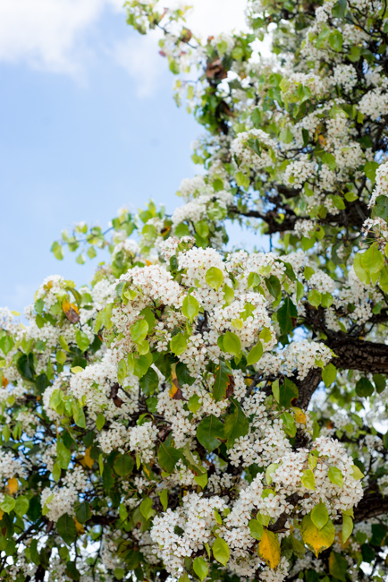 Bloom alert the wild white confetti of the evergreen pear tree evergreen pear trees pyrus kawakamii mightylinksfo