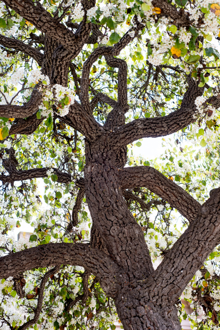 white-blooms-pear-trees-ryanbenoitphoto-thehorticult-RMB_7417