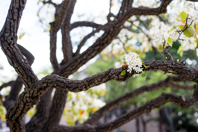 white-blooms-pear-trees-ryanbenoitphoto-thehorticult-RMB_7478