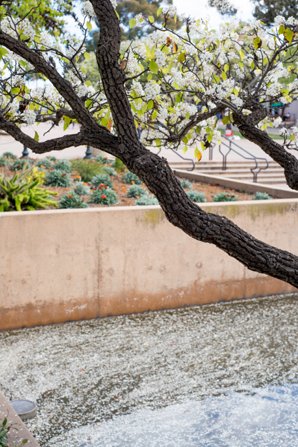 white-blooms-pear-trees-ryanbenoitphoto-thehorticult-RMB_7482