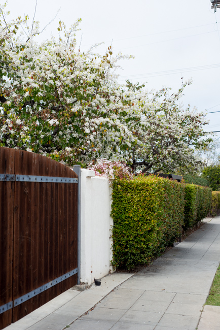 white-blooms-pear-trees-ryanbenoitphoto-thehorticult-RMB_7513