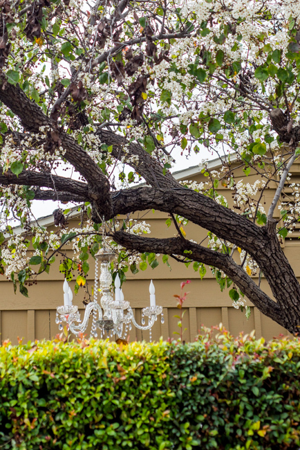 white-blooms-pear-trees-ryanbenoitphoto-thehorticult-RMB_7516