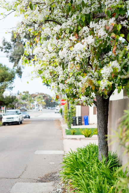 white-blooms-pear-trees-ryanbenoitphoto-thehorticult-RMB_7522