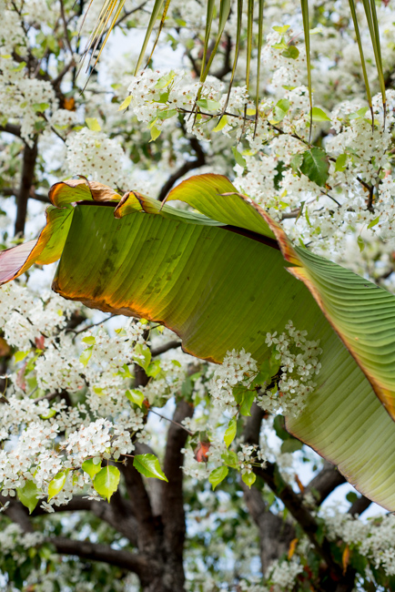 white-blooms-pear-trees-ryanbenoitphoto-thehorticult-RMB_7524