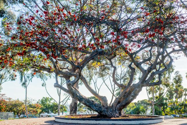 Kaffirboom Coral Tree at Dennis V Allen Park in San Diego, California.