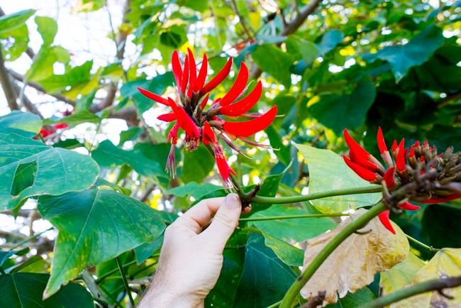 Erythrina × sykesii (Australian coral tree)