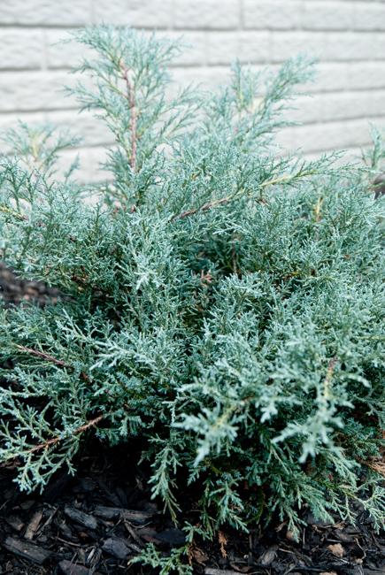 Angelica Blue Juniper