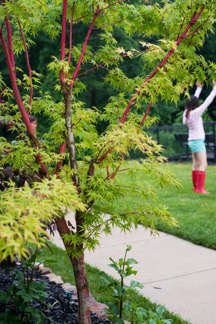 Acer palmatum 'Sangokaku' (Coral Bark Maple)