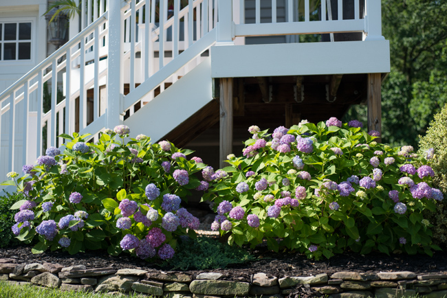 This north-facing location works well for the hydrangea until August when they become burned by the afternoon sun.