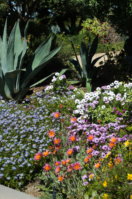 Felicia 'Pinwheel' periwinkle mixed with gerbera and African daisies.