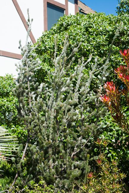 Adenanthos sericeus or woolly bush adds softness to the protea garden.