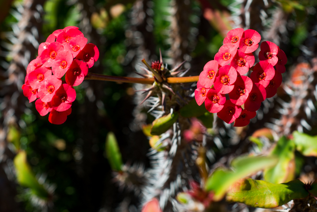 Euphorbia Milii or Crown-of-Thorns