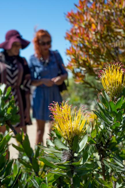 Leucospermum gueinzii or Kloof Fountain Pincushion