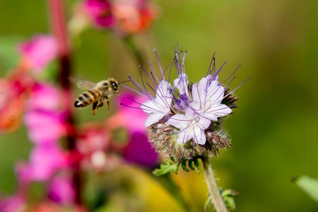 bee with lacy phacelia (phacelia tanacetifolia)