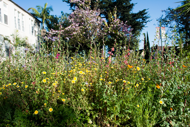 Wilflowering-LA-Roadside-Seed-Mix-Site-40-ryanbenoitphoto-thehorticult-RMB_9557